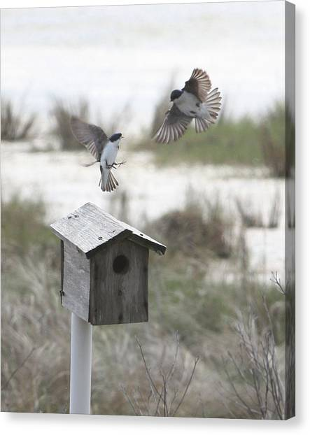 Dancing Tree Swallows Canvas Print