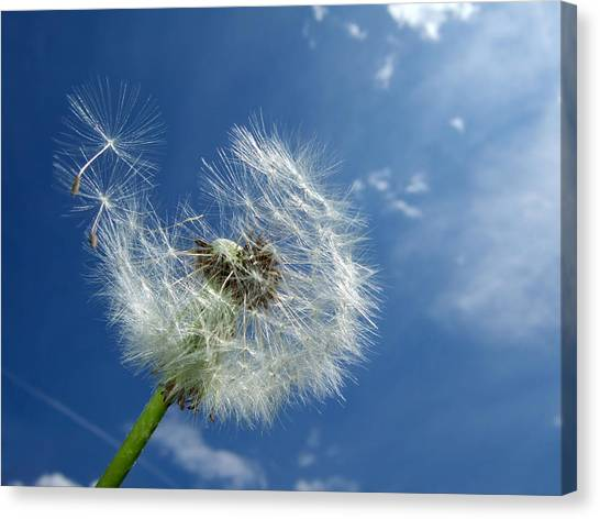 Dandelion And Blue Sky Canvas Print