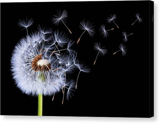 Dandelion Blowing On Black Background Canvas Print