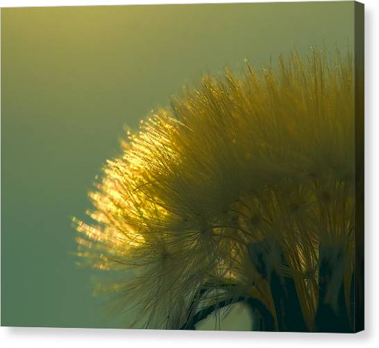 Dandelion In Green Canvas Print