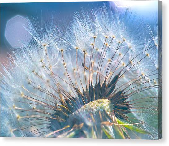 Dandelion In Light Canvas Print