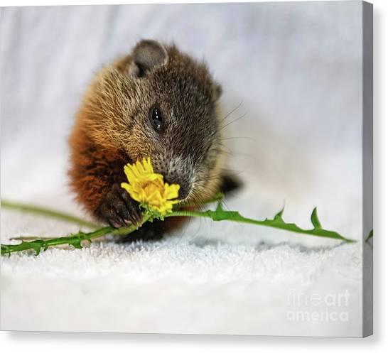 Groundhogs Canvas Print - Dandelion Love by Nina Stavlund