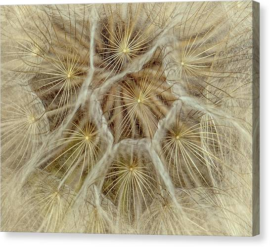 Dandelion Particles Canvas Print