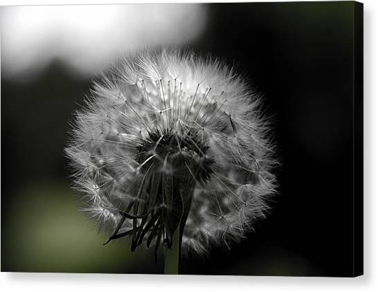 Puff flowers canvas prints page 20 of 22 fine art america puff flowers canvas print dandelion puff ball by peter lloyd mightylinksfo