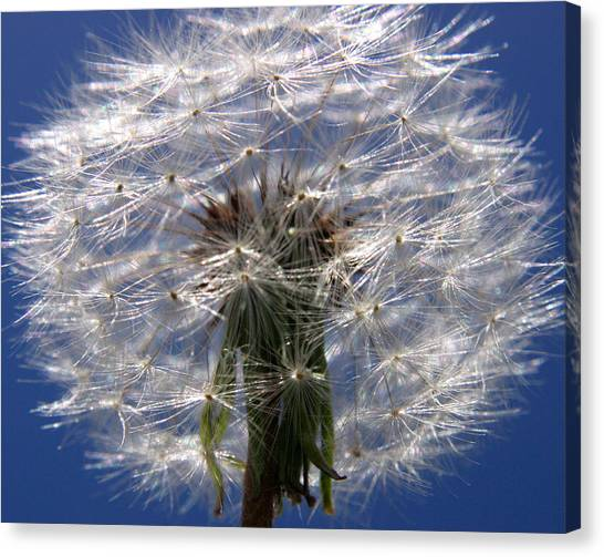 Dandelion Canvas Print by PIXELS  XPOSED Ralph A Ledergerber Photography