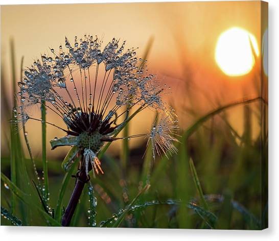 Dandelion Sunset 2 Canvas Print