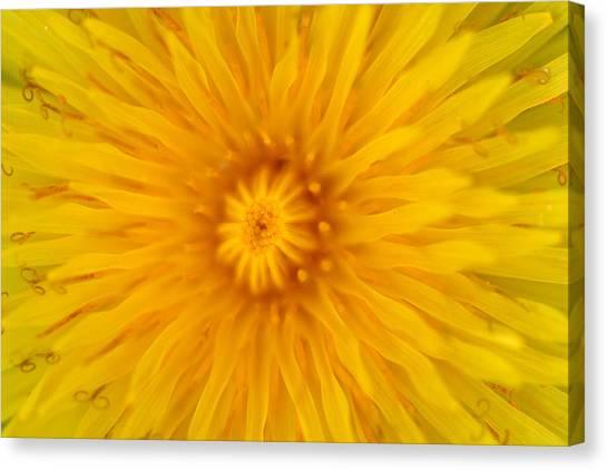 Dandelion8 Canvas Print
