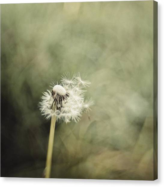 Green Canvas Print - Dandelion  #lensbaby #composerpro by Mandy Tabatt