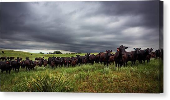 Nebraska Canvas Print - Dark Angus by Thomas Zimmerman