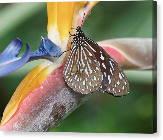Canvas Print featuring the photograph Dark Blue Tiger Butterfly - 1 by Paul Gulliver