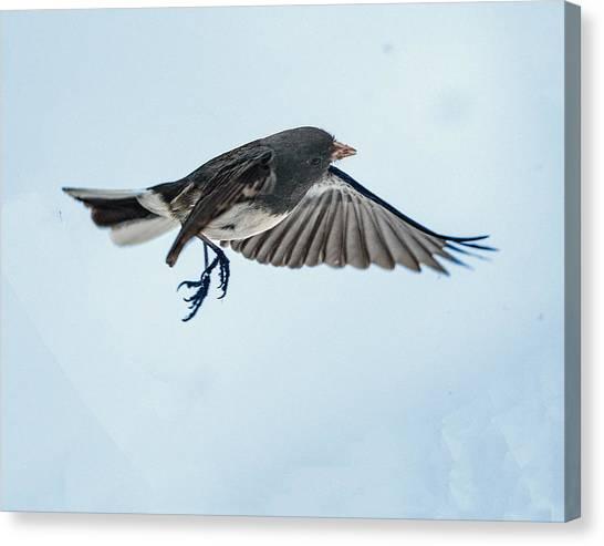 Dark-eyed Junco Flying Canvas Print