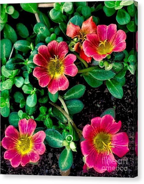 Dark Pink Purselane Flowers Canvas Print