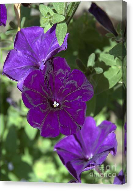 Dark Purple Petunias Canvas Print