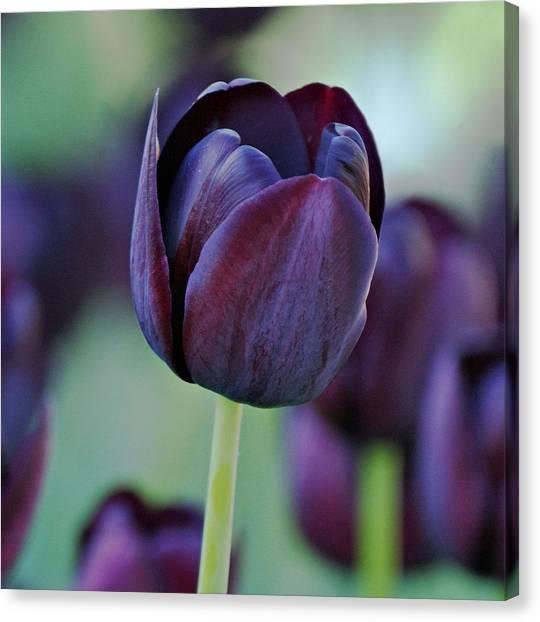 Evansville Canvas Print - Dark Purple Tulip by Sandy Keeton