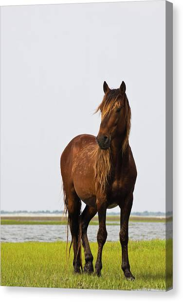 Dark Stallion Canvas Print