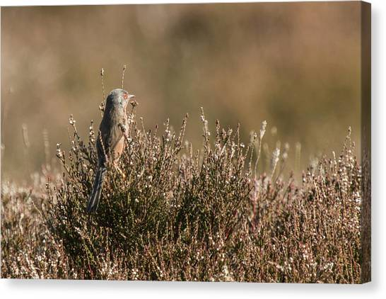 Dartford Warbler Canvas Print