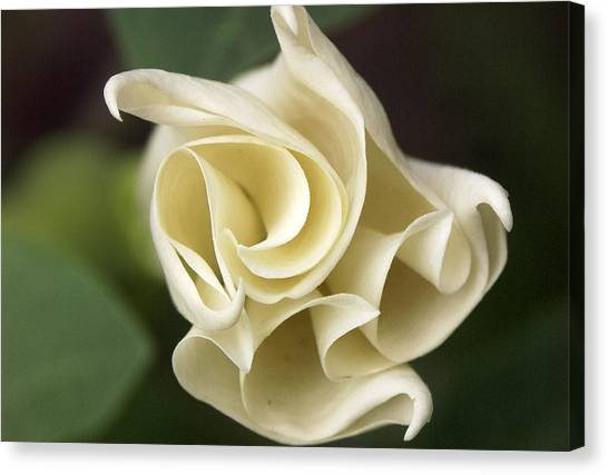 Datura Canvas Print by Tom  Wray