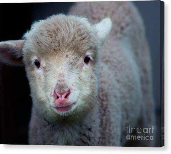 Dave The Sheep  Canvas Print