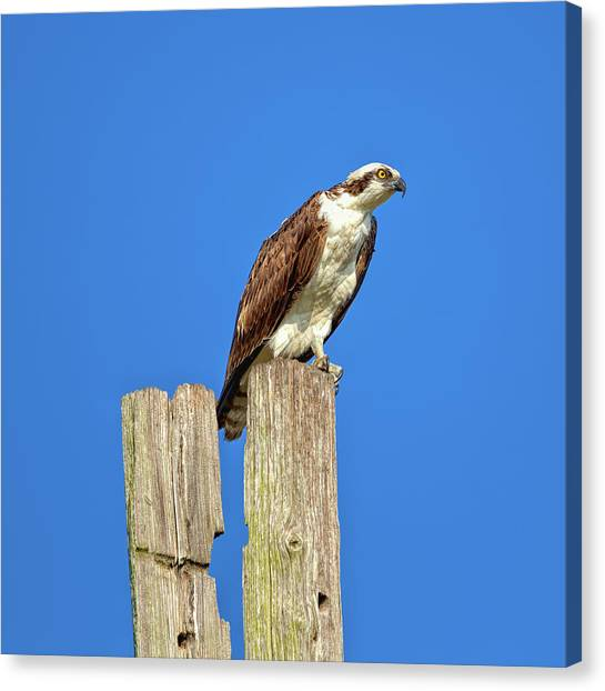 Osprey Canvas Print - Day Watch by John M Bailey
