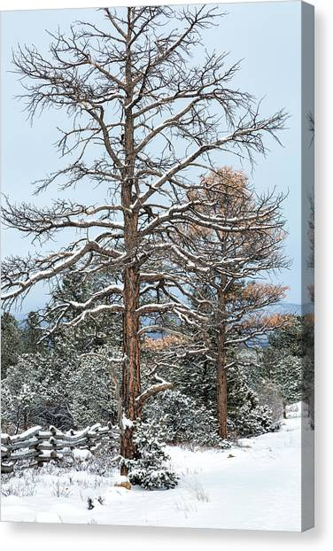 Canvas Print featuring the photograph Dead Ponderosa Pines In Winter by Denise Bush