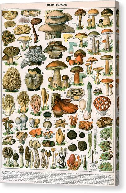 Toadstools Canvas Print - Decorative Print Of Champignons By Demoulin by American School
