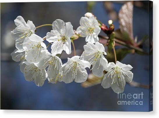 Deep Blue  Cherry Blossom Canvas Print