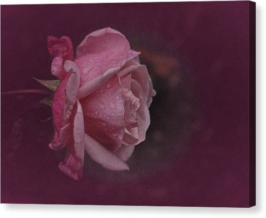 Deep Pink Nov Rose Canvas Print