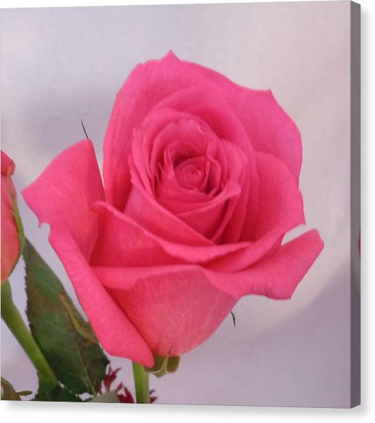 Single Deep Pink Rose Canvas Print