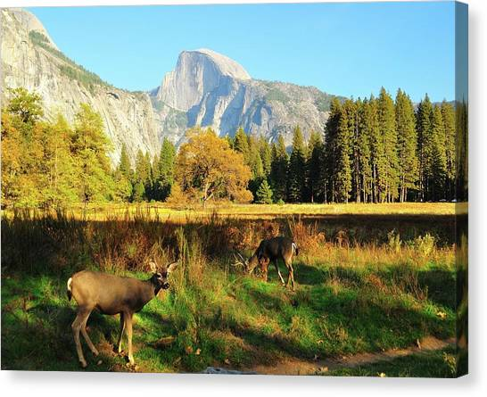 Half-length Canvas Print - Deer And Half Dome by Sandy L. Kirkner