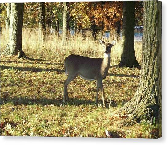 Deer At Valley Forge Canvas Print
