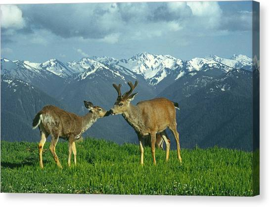 Ma-181-deer In Love  Canvas Print