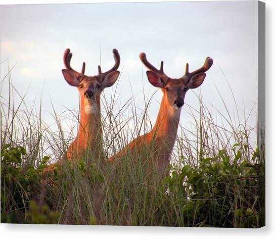 Deer In The Dunes Canvas Print by Donald Cameron