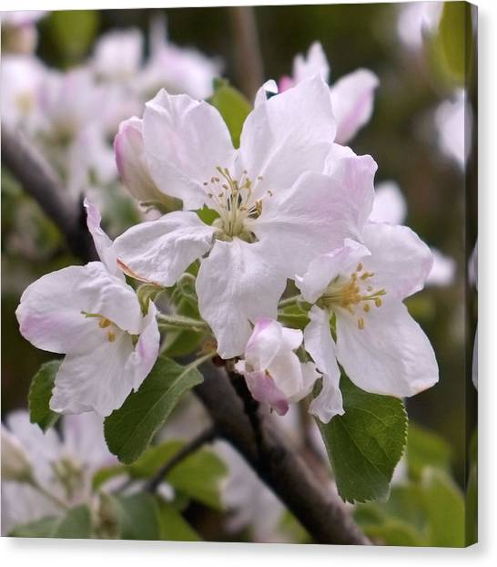 Canvas Print - Delicate Apple Blossoms by Rona Black
