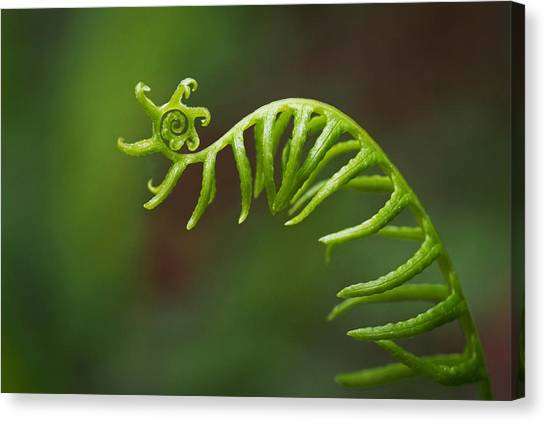Delicate Fern Frond Spiral Canvas Print