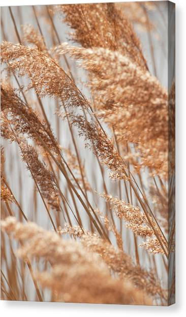 Delicate Grasses In Spring Canvas Print