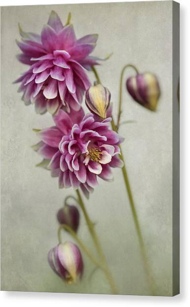 Delicate Pink Columbine Canvas Print