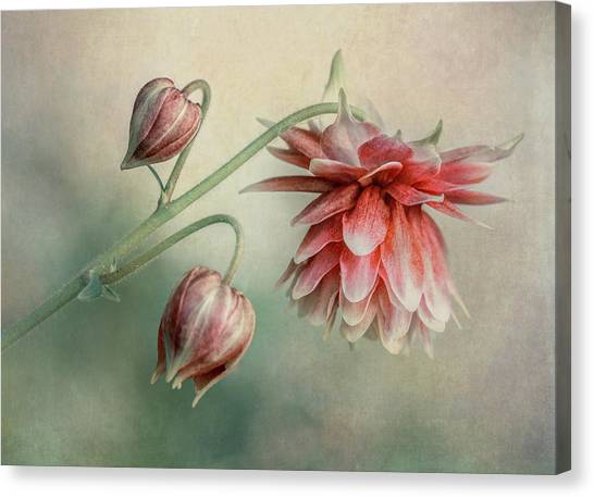 Delicate Red Columbine Canvas Print