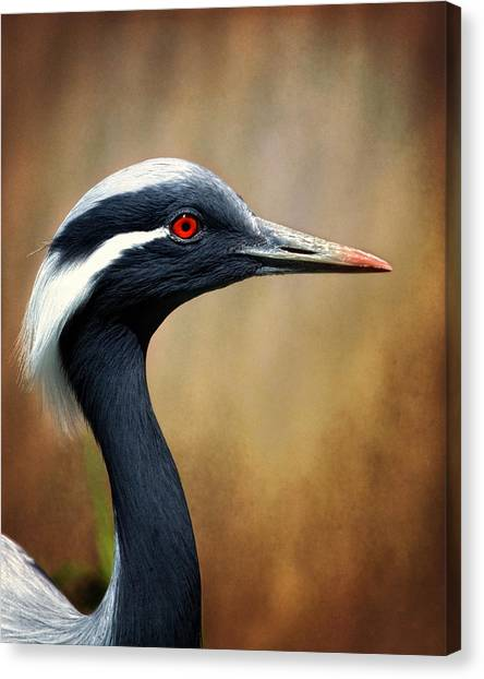 Demoiselle Crane Canvas Print