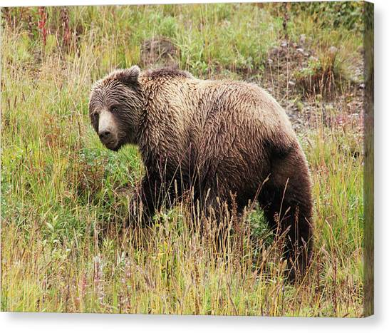 Denali Grizzly Canvas Print