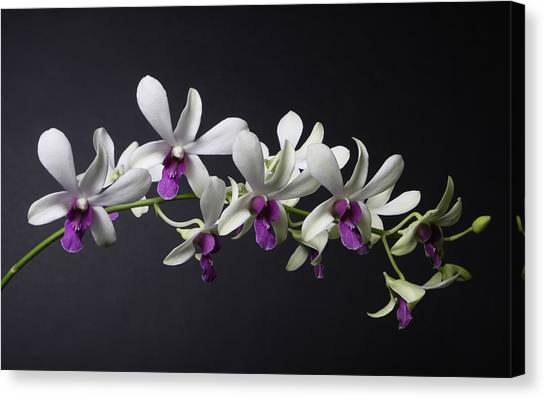 Dendrobium Orchid Canvas Print by Lynn Berreitter