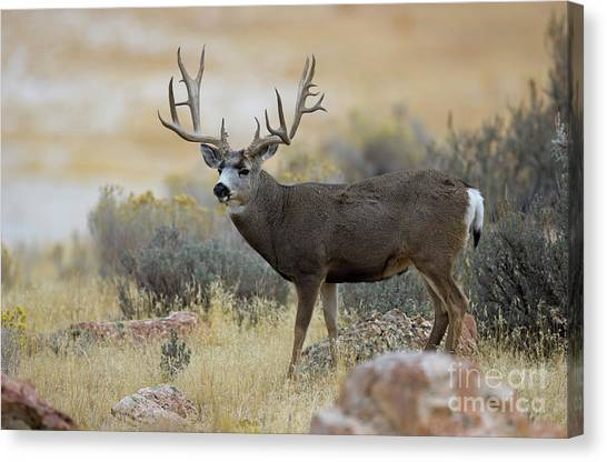 Desert Beast Canvas Print
