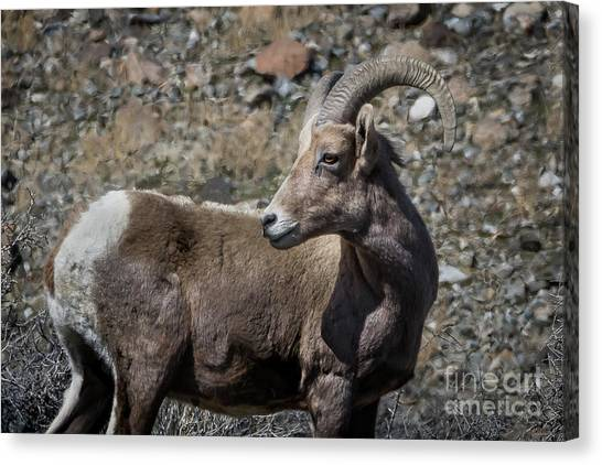 Desert Big Horn Sheep Canvas Print by Webb Canepa