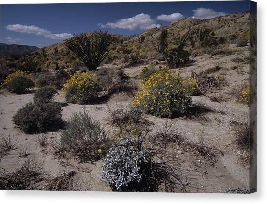 Desert Canyon Wildflower Bloom Canvas Print