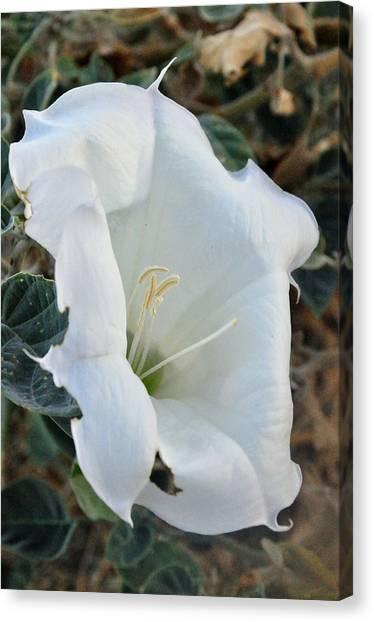 Desert Flower Canvas Print by Gene Sherrill