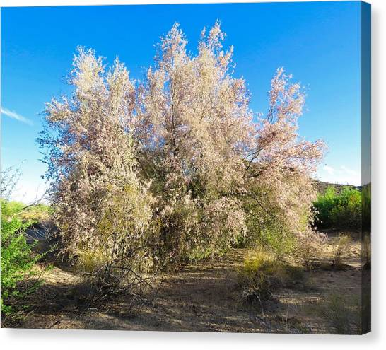 Desert Ironwood Tree In Bloom - Early Morning Canvas Print