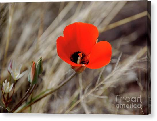 Desert Wildflower Canvas Print