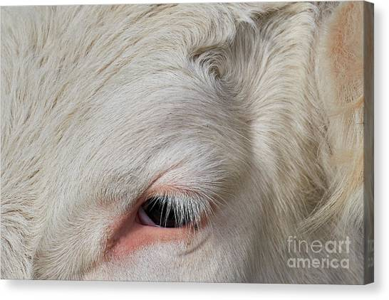 Canvas Print featuring the photograph Detail Of The Head Of A Cow by Nick Biemans