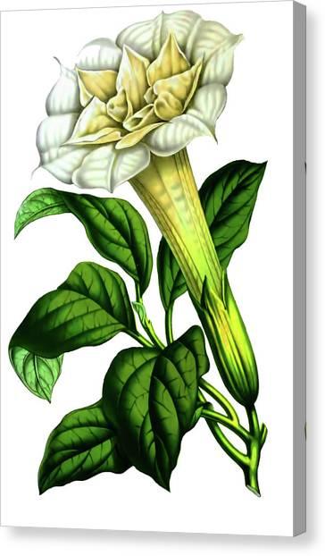 Devil Trumpet Datura Fastuosa Canvas Print