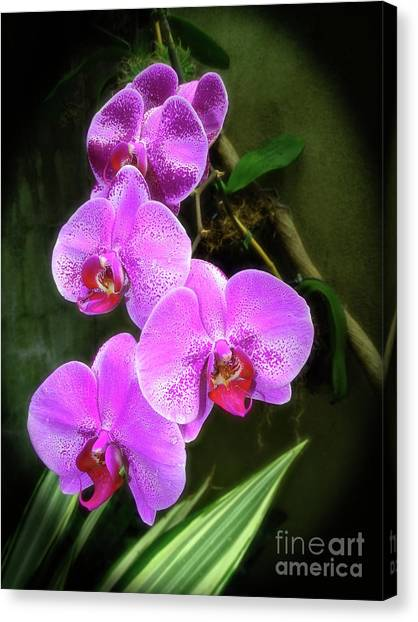 Dew-kissed Moth Orchids Canvas Print