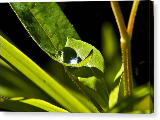 Dewdrop On A Leaf Canvas Print by Michael Whitaker
